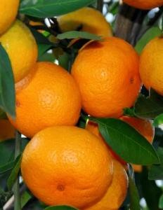 IS SATSUMA PALEO?