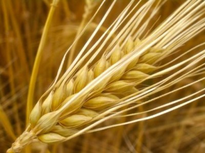 IS BARLEY PALEO?